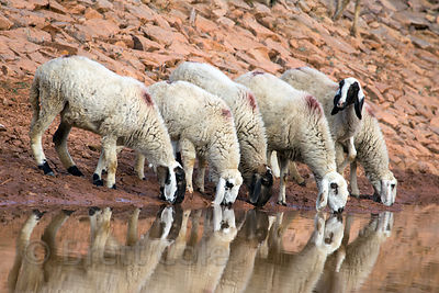 Sheep drink at a muddy pond near Kharekhari village, Rajasthan, India