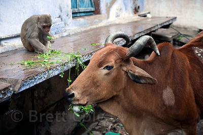 Rhesus monkey and cow eating on the street in Bundi, Rajasthan, India