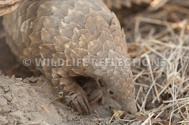 cape_pangolin_exiting_burrow_1