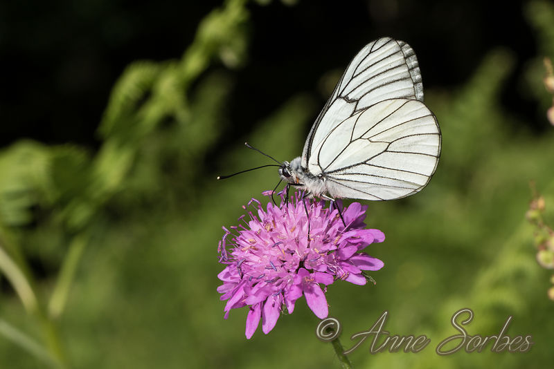Black-veined White (Aporia crataegi) photos