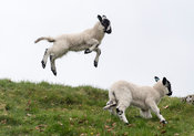 Young lambs playing in fields, spring, North Yorkshire, UK.