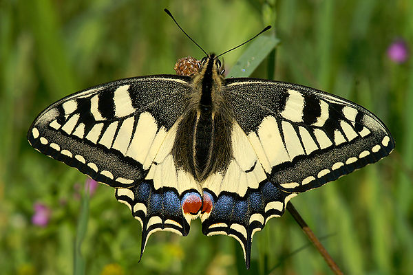 Papilionidae - Pages - Swallowtails photos