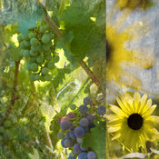Grapes, Sunflower, Food & Wine Gallery