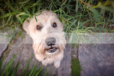 soft coated terrier dog with expression staring up from flagstone