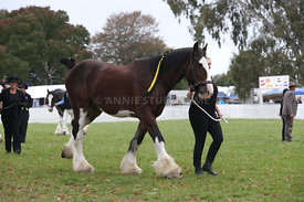 HOY_220314_Clydesdales_2368