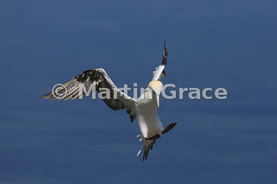 Flying Adult Northern Gannet (Morus bassanus) preparing to land, Bempton Cliffs (RSPB), East Riding of Yorkshire, England: Image 5 of a sequence of 5