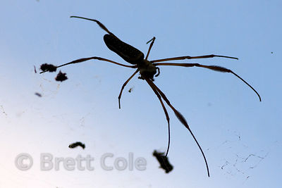 Large spider, Tambopata River, Peruvian Amazon