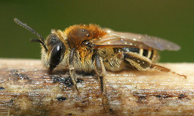 Andrena dorsata, female, 1st generation