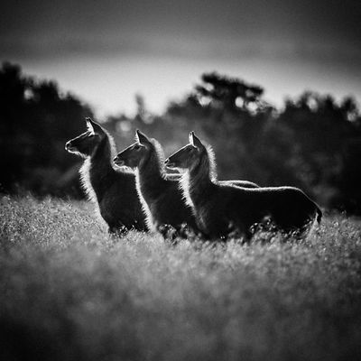 48234-Herbivore_Three_hartebeests_Laurent_Baheux
