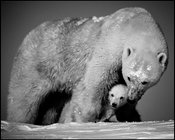 Polar bear cub between the paws of its mother,Baffin Island Canada 2016 © Laurent Baheux