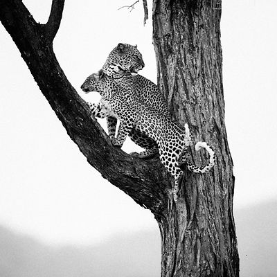 44183-Baby_leopard_with_his_mother_Kenya_2013_Laurent_Baheux