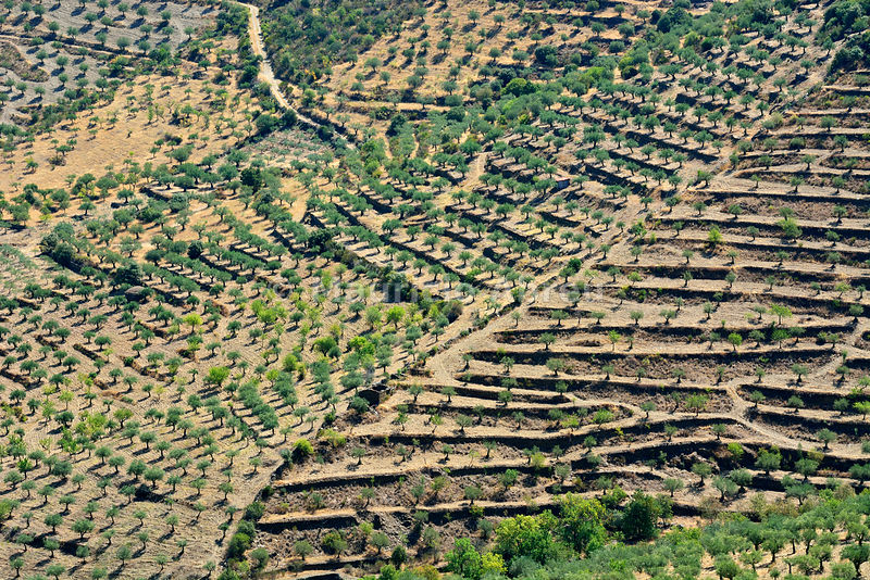 Olive trees and Almond Trees. Barca d'Alva. Alto Douro, Portugal