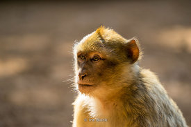 A Barbary macque monkey in the Atlas Mountains of Morocco.