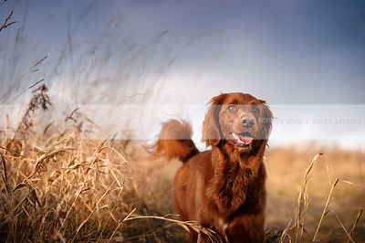 longhaired red setter cross breed dog wagging in dried grasses