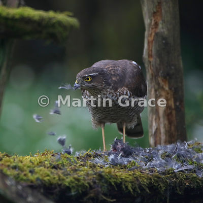 Eurasian Sparrowhawk (Accipiter nisus) feeding on a Coal Tit (Periparus ater) it has just caught, Lyth Valley, Cumbria, England: Image 3 of 4