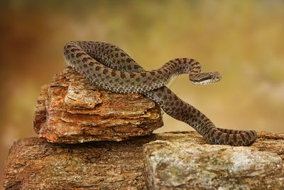 Twin-Spotted Rattlesnake On Top of Rocks