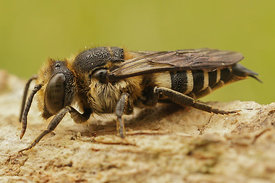 Coelioxys species