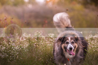 longhaired shaggy dog with tail up running in meadow flowers