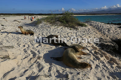 Two Galapagos Sea Lion cows (Zalophus californianus wollebacki or wollebaeki) with their pups on the beach at Cerro Brujo and about to be disturbed by tourists, San Cristobal, Galapagos