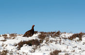 Red Grouse (Lagopus lagopus scotica) feeding on snow covered heather moorland, North Yorkshire, UK.
