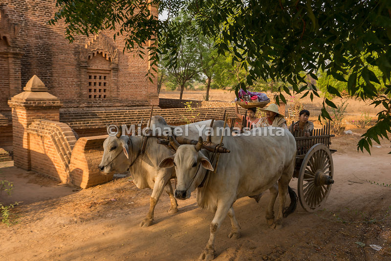 Oxen pull a family aboard a wooden cart in Bagan. Ox carts and horse carts are both common modes of transport in the ancient city.
