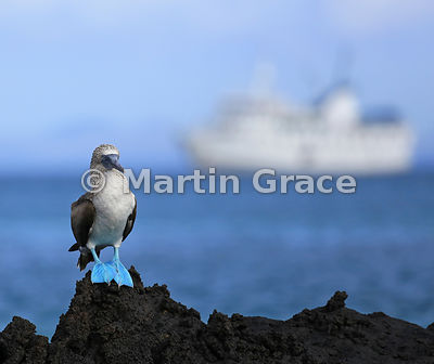 Blue-Footed Booby (Sula nebouxii excisa) with tourist ship M/V La Pinta behind, Bahia Ballena, Santa Cruz, Galapagos