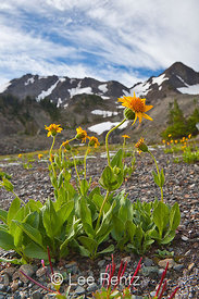 Arnica Blooming in Royal Basin in Olympic National Park