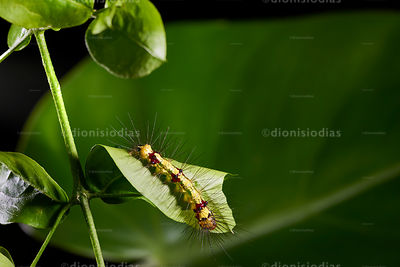 Poisonous caterpillar feeding lush leaf