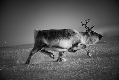9402-The_hunting_reindeer_Svalbard_2016_Laurent_Baheux