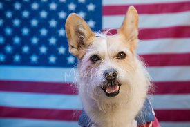 Terrier mix in front of American flag for July 4th