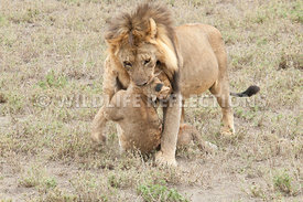 lion_carrying_dead_cub_16