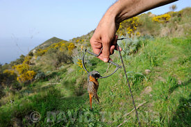 Redstart Phoenicurus phoenicurus migrant male caught in spring / clap trap (also known as sep trap) Ponza Italy April