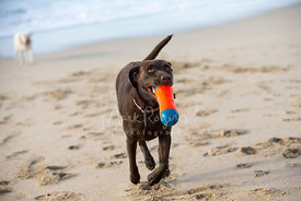 Brown Labrador Running on Sand with Orange Toy