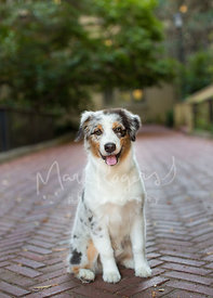Smiling Australian Shepherd Puppy Sitting on Brick Pathway with Tongue Out
