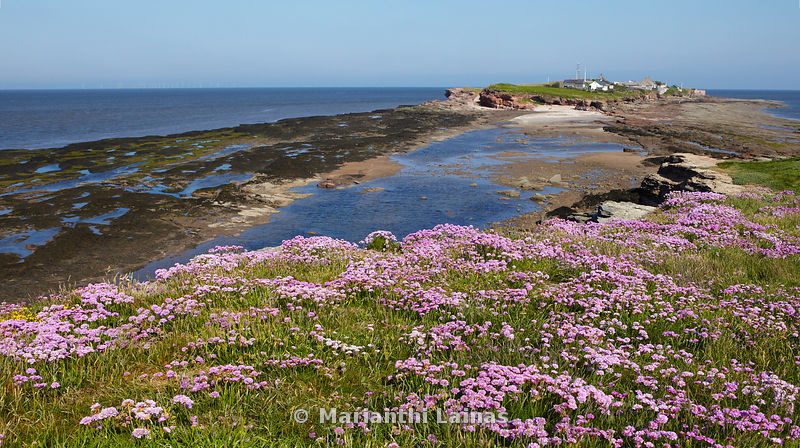 Sea Pinks on Hilbre (panoramic)