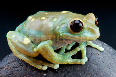 Ruby-eyed treefrog  (Leptopelis ulugurensis) photos