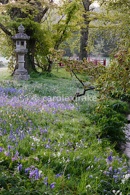 Bluebells including pink and white flowered forms around streams and a temple lantern in the Japanese garden at Heale House, Middle Woodford, Wiltshire on frosty April morning