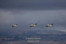 American While Pelicans in flight, Don Edwards Wildlife Refuge, Alviso, CA, USA