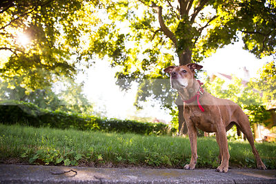 old brindle pitbull dog standing with trees in sunshine glow