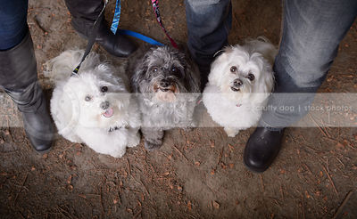 overhead stock image of three little groomed dogs posing with owners legs