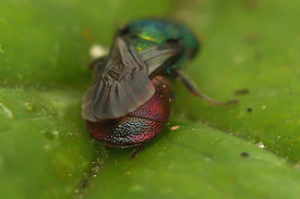 Chrysididae species at Miseriebocht, Sint - joris ten distel