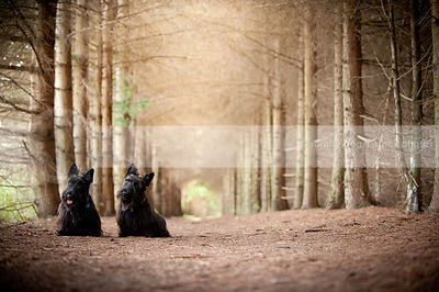 two curious black dogs with head tilt sitting together in pine forest