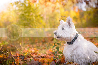 alert groomed white terrier sitting in autumn setting
