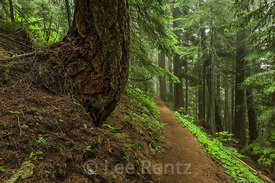 Trail through Forest to Mount Townsend in Olympic National Forest