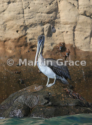 Brown Pelican (Pelecanus occidentalis urinator), Cerro Brujo, San Cristobal, Galapagos