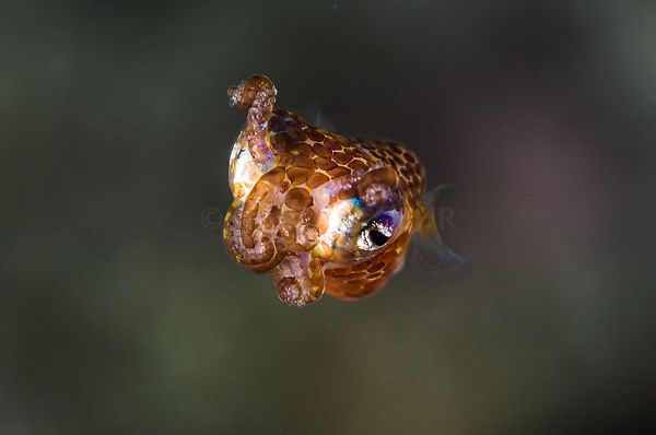 bobtel squid