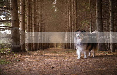 beautiful collie cross dog wagging standing in forest of pine trees