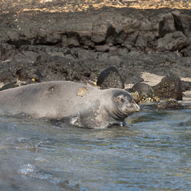 Hawaiian Monk Seal wildlife photos