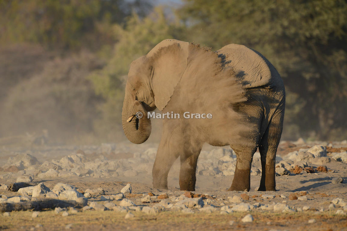 African Elephant (Loxodonta africana) dust-bathing, Etosha National Park, Namibia: Image 3 of 5