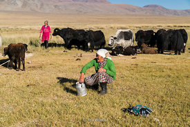 A local nomadic Kazakh woman milking a yak by Tolbo Lake in western Mongolia.